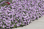Purple Petunias near a walk-way
