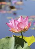 Water Lotus in Summer bloom