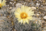 Sea Urchin Beehive Cactus.