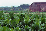 Tobacco plants, Tobacco plantation, St Mary's County, Maryland