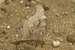 Adult Compton Tortoiseshell  butterfly