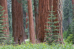 Giant Sequoia trees in the forest, Sequoia and Kings Canyon National Park