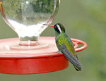 Adult  male White-eared Hummingbird at feeder
