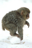Snow monkey (Japanese macaque) playing in the snow, Joshin-Etsu kogen national park, Japan.
