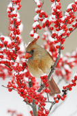 Female Northern Cardinal in Winterberry