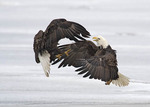 Bald eagles fighting in the air.
