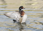 Male Wood Duck with wings out