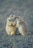 BLACK TAILED PRAIRIE DOGS  KISSING