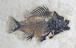 Fossil of Spiny -Finned FishPriscacara serrata