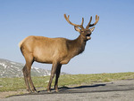 Large Elk standing in the road