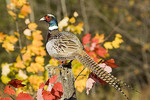 Adult male Ring-necked Pheasant on a fence post in the Fall