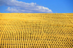 Freshly harvested wheat field Oregon