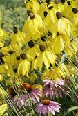 Yellow and purple Coneflowers