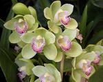 Orchid Cymbibium Via Ireland 'Delightful' x La Costa 'White Princess'