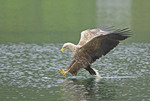 White-tailed Sea Eagle  grabbing fish  from river