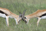 Thomson's Gazelle butting heads on the Serengeti, Tanzania, Africa.