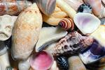 Caribbean Seashells, Puerto Rico