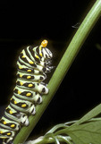 Larva of black swallowtail butterfly