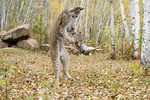 Adult Canadian Lynx  playing with Eastern Cottontail kill.