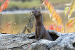 Adult Mink  coming out of a dead tree trunck