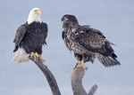 Bald Eagles mature and immature on tree