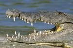 Alligator showing teeth