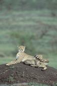 Cheetah, Gepard, Acinonyx jubatus. Masai Mara,