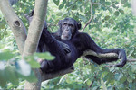 Chimpanzee siting in a tree in  Gombe National Park, Tanzania