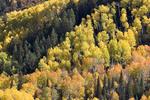 Fall Color, Colors, Yellow, Aspen in Colorado