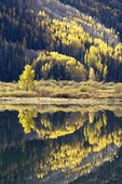 Fall colors in the Colorado Rockies with Aspens and Blue Spruces