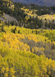Fall Color, Colors, Yellow, Aspen and  Colorado Blue Spruce