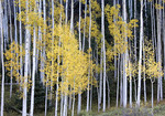 Yellow fall Aspen  leaves and trees.