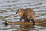 Adult Common Muskrat  on a floating log
