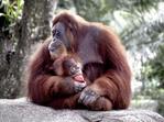 Mother and baby orangutang