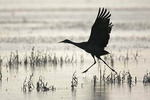 Sandhill crane running on water to take off Bosque del Apache National Wildlife Refuge