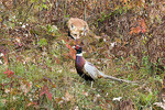 Fox hunting a pheasant