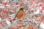 American Robin in Hawthorn Berries with Snow and Ice