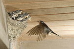 Barn Swallow at nest feeding her young