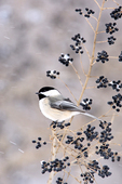 Black capped Chickadee in Serviceberry