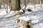 Black capped Chickadee in the winter snow
