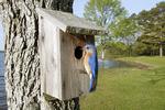 Eastern Bluebird at Nest Box