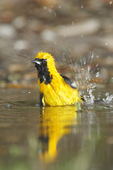 Bathing Hooded Oriole