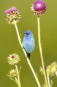 Indigo Bunting in Thistle