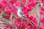 Northern Mockingbird in Bougainvillea Flowers