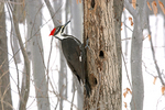 Female Pileated Woodpecker in Snow