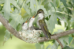 Ruby throated Hummingbird fedding young in the nest