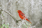 Summer Tanager in Spanish Moss
