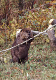 Beaver chewing on tree barnch