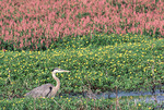 Great Blue Heron amongst yellow water crowfoot and smartweed plants