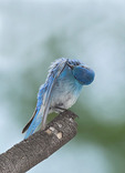 Mountain Bluebird pruning